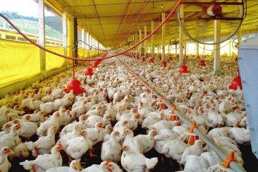 Entre Ríos podría ser pionera en instalar paneles solares en galpones de pollos
