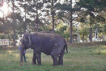 """Finalmente trasladarán a la elefanta Merry del """"Arca de Enrimir"""""""