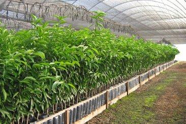 La Justicia ratificó la constitucionalidad de producir plantas cítricas bajo cubierta