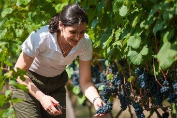Concordia encabeza el resurgir de la producción vitivinícola en Entre Ríos